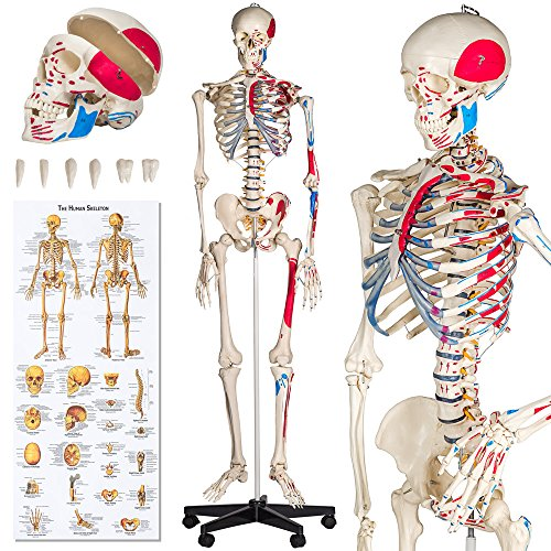 TecTake Anatomie Skelett lebensgroß inklusive Ständer - Diverse Modelle - (Skelett mit Muskelbemalung | Nr. 401755)
