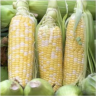 Peaches & Cream Sweet Corn Non-GMO Seeds, 1 Pound (2,400+ Seeds) - by Seeds2Go