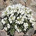 Outsidepride Arabis Snow Peak Seeds