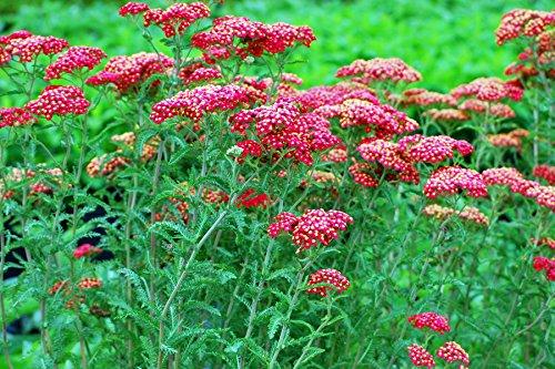 Perennial Farm Marketplace Achillea millefolium 'Paprika' ((Yarrow) Perennial, Size-#1 Container', Ruby Red Flowers