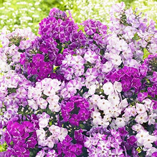 Qulista Samenhaus - Rarität Duftend Zauberphlox Freckle Blue Shades Bodendecker Blau Gartenstaude Blumensamen pflegeleicht winterhart mehrjährig