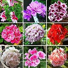 2 : 100 pcs Rare Geranium Seeds,17 Colors Perennial Flower Seeds Pelargonium Peltatu