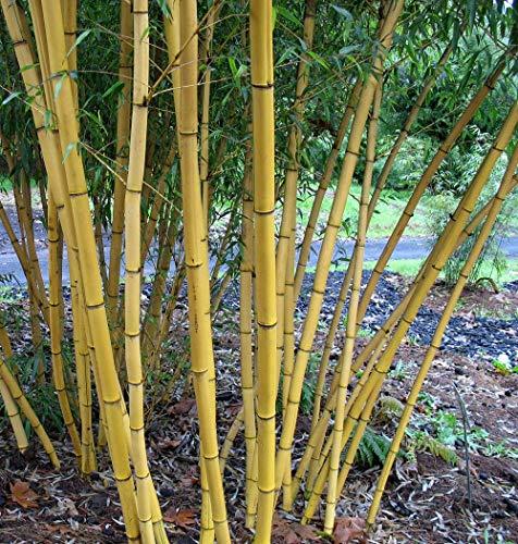 100+ frais bois chinois Graines de bambou - Phyllostachys vivax