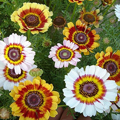promworld Samen fü Blumen,Mischfarbe Kranz Chrysanthemensamen Regenbogen Chrysantheme Topf Ornamental-5kg,Blumensamen Bunte