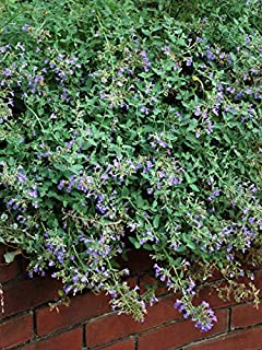 Perennial Farm Marketplace Nepeta f. Junior Walker ((Catmint) Perennial, Size-#1 Container, Lavender-Blue Flower Spikes