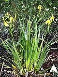 Iris Pseudacorus 1 Rizoma Giglio Giallo Waterpark 1 Rhizome Yellow Water Lily La restituzione della merce non è disponibile Vendiamo solo semi Spediamo a livello internazionale