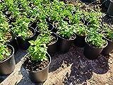SmartMe Flowering Plant - Pepper del Monte .Chile...