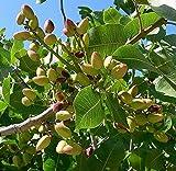 10 Semillas de pistacho Nut Tree TRZ045 (Pistachia Vera)