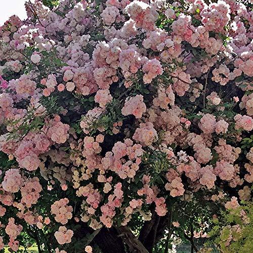 Brise Parfum®, rosa rampicante in vaso di Rose Barni®, pianta rifiorente Treillage®, altezza raggiunta fino a 3,5 metri, rifiorente con fiori a grappoli rosa chiaro molto profumati, Cod.20010