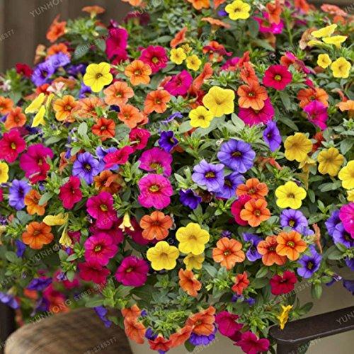 Las semillas de petunia son entusiastas de la jardinería. Embalaje: 100 unids / bolsa La temperatura de crecimiento más adecuada: 13 ° C a 18 ° C (tan solo 4 ° C, hasta 35 ° C en condiciones). Un ambiente cálido y soleado. Belleza su balcón, hogar, j...