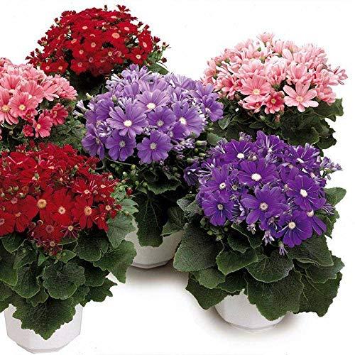 promworld Plantes ornementales,mélange Fleurs graines,Cineraria graines en Pot de chrysanthème Jardin intérieur-Rouge_1000pcs