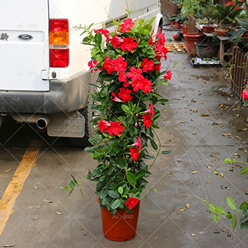 100pcs / bolsa de semillas Mandevilla Sanderi -Dipladenia sanderi, planta de la flor de Bonsai para jardín de plantación, de fácil cultivo 2