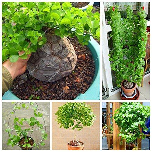 Dioscorea semilla, planta Bonsai Concha de Dioscorea elephantipes Inicio Jardín Escalada hoja perenne Planta 5 PC / Lot