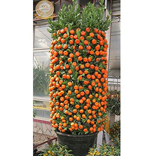 Bonsai ornemental Sweet Red Orange Tree (80-100cm hautes) Graines, en vrac 20 Graines, KK190 comestibles bio