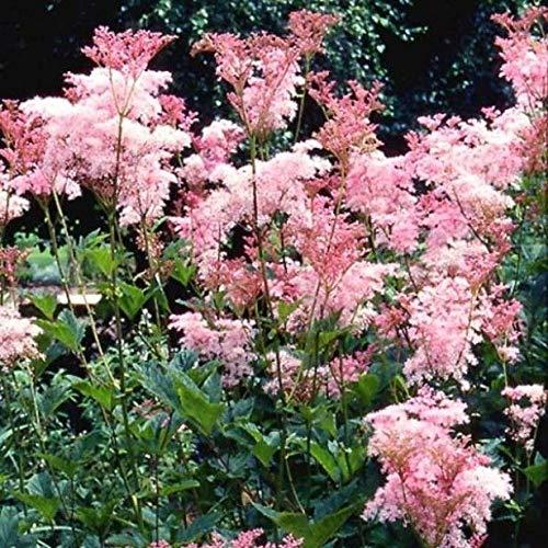 Portal Cool Filipendula rubra Venusta Queen Of The Prairie Rosa Mädesüß 25 Samen