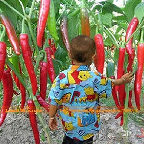 100 graines / paquet de graines de légumes dix géantes rouges nouvelles épices épicés de poivre de piment Graines de plantes jusqu'à 50cm 50 Pcs graines longues