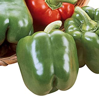 Pepper King Arthur F1 - Vegetable Seeds - 250 Seeds