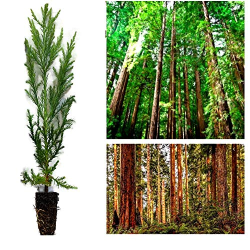 1 Coast Redwood Plant Trees 10-15' Inch Landscape Tree Screen Bonsai Sequoia Sempervirens - (Legendary yes) (1)