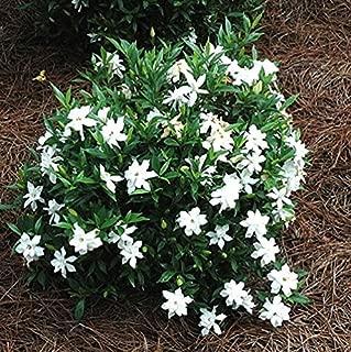 Frost Proof Gardenia (Cape Jasmine) - Trade Gallon
