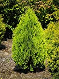 Berkman's Gold - 3 Live 6 Inch Plants - Thuja Orientalis Aurea Nana - Dwarf Evergreen Shrub