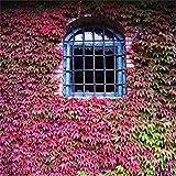 perennes Resistentes para balcón,Parthenocissus Creeper Cuatro Estaciones de Hoja perenne Planta Flor semilla-Fucsia 120,Flores Semillas Planta Bonsai