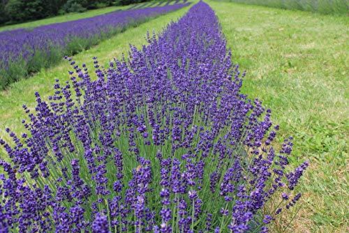 Asklepios-seeds® - 2000 Semi di Lavandula officinalis, Lavanda officinale o lavanda vera, viene detta anche spico o lavanda a foglie strette