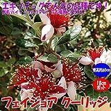フェイジョア クーリッジ:花も美しい庭園向き果樹 18cmポット:樹高約60cm 【九州圃場より直送】【プライム送料込み価格】
