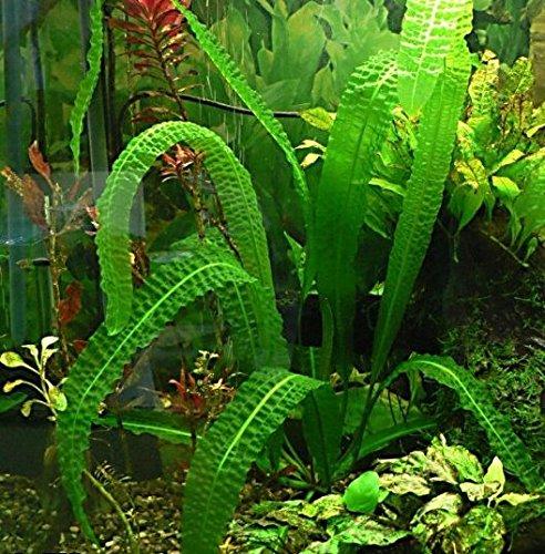 Aponogeton Bolivianus Bulb - - Aquarium Plant for Aquariums with temperatures Under 72F