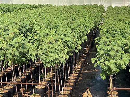 1st schwarze Johannisbeere Hochstamm im Topf Titania veredelt Ribes Höhe 80-100cm