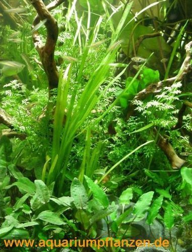 4 getopfte Aquariumpflanzen, 6 Bund Aquarienpflanzen + 2 Mooskugeln + Dünger - Asien Wasserpflanzensortiment