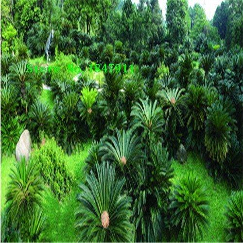 Big vente de nouveaux 50pcs graines fraîches Cycas rares Graines Chine Arbre Quatre saison d'expédition Green Tree gratuit