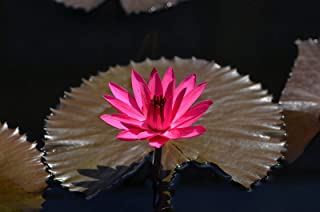 Nymphaea Red Flare RED Night Blooming Tropical Water Lily Seeds