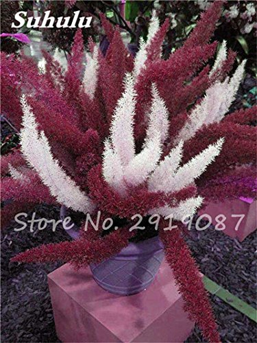 Hot! 120pcs sétaire Fleur Bonsai Graines, coloré sétaire Ferns pot plantes ornementales Aménagement paysager décoratif herbe plantes Semences 1
