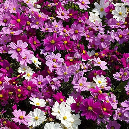 Charm4you Perenne Resistente Semillas,Cosmos Four Seasons Blossom Garden Seeds-Pink_1000 cápsulas,Semillas de Plantas Verdes