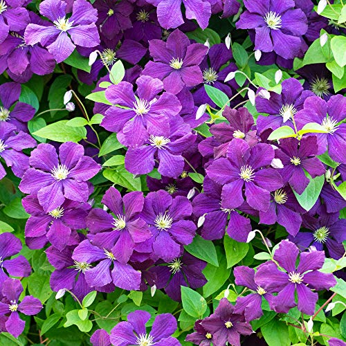 Clematis Polish Spirit Deciduous Flowering Potted Outdoor Garden Climbing Plant (20-30cm (Incl. Pot))