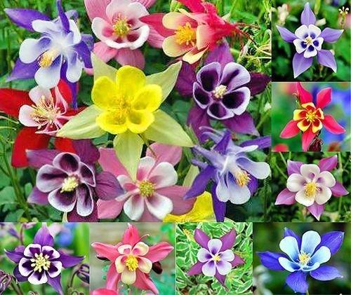 200+ Columbine McKana Giants Flower Seeds, Perennial, Aquilegia caerulea,...