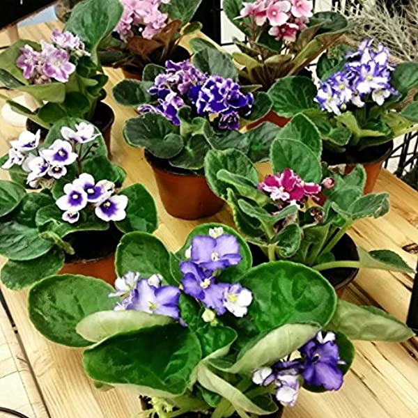 Two African Violet Plants Assorted Colors IN BLOOM 4 Pots By Jm Bamboo
