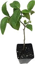 Surinam Cherry Eugenia Uniflora Live Plant