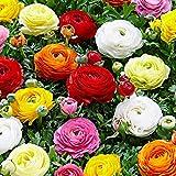 50x Ranunculus asiaticus | bulbi di Ranunculus asiaticus a doppia fioritura | bulbi da fiore Perenne | Ø 4-5 cm