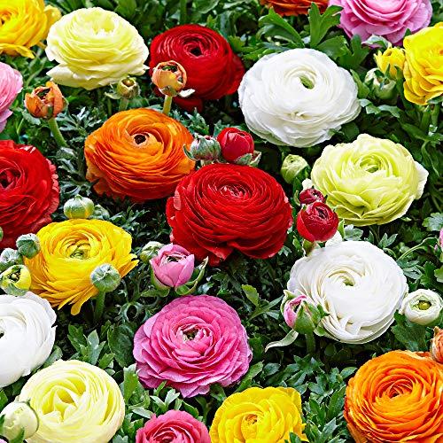 50x Ranunculus asiaticus | Ranunkeln Zwiebeln | Blumenzwiebeln mehrjährig winterhart | Ø 4-5 cm