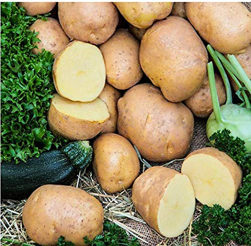 Beautytalk-Garten 50 Stück Bio Kartoffel Gemüse Saatgut ertragreich Bio Pflanzkartoffel winterhart Gemüsesamen Kartoffel samen Pflanzen Hausgarten- mehrjährig