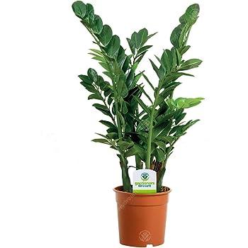 Zamioculca Zamiifolia - 1 Plant - House/Office Live Indoor Pot Plant Tree in 13cm Pot