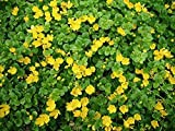 10 x Nummularia lysimachia (Bodendecker/Stauden) Pfennigkraut