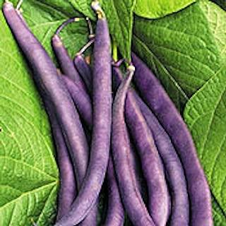 royal burgundy bean seeds