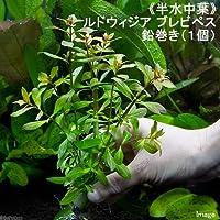 (水草)半水中葉 ルドウィジア ブレビペス 鉛巻き(無農薬)(1個) 北海道航空便要保温