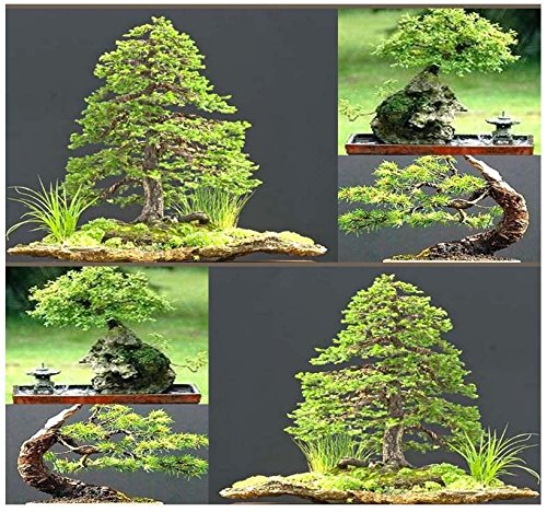 20 graines - Graines Tree Jezo épinette abies - PERFECT BONSAI JAPONAIS