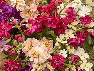 David's Garden Seeds Flower Stock Dwarf Ten Week Mix SL0922 (Multi) 50 Non-GMO, Heirloom Seeds