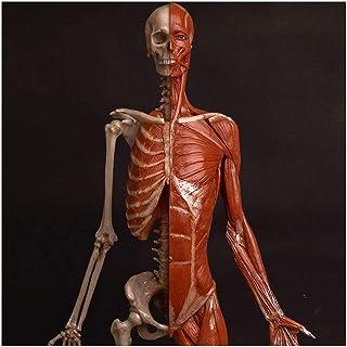 Female Anatomy Figure Painting Model - Medical Anatomical Human Muscle Bone Ecorche And Skin Model - Human Skull Head Body...