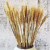 Beau Jour 100 poleas de trigo seco natural para arreglos florales DIY decoración del hogar