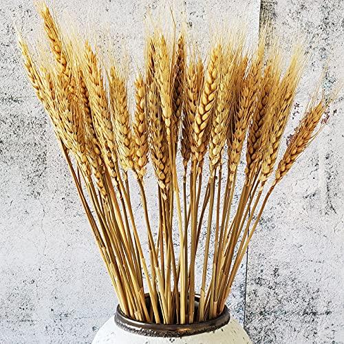Beau Jour 100 Tiges de Paille de Blé Séché Naturel pour Compositions Florales et Décoration Intérieure